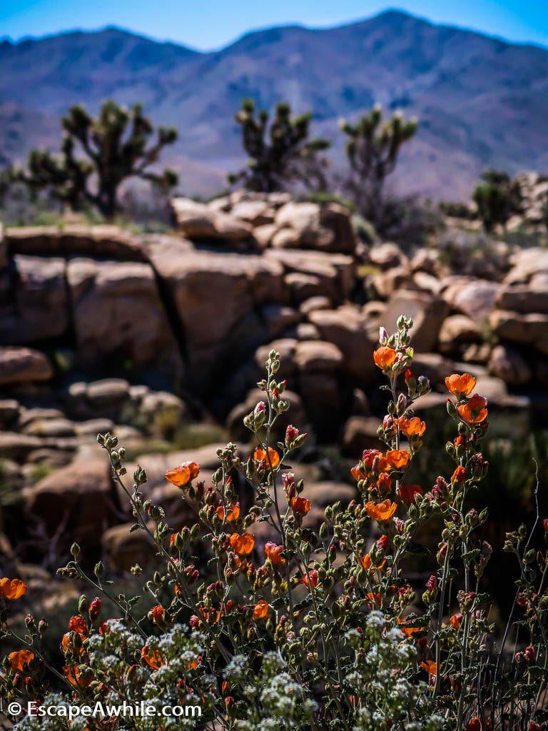 Spring time wild flowers, Joshua Tree national park, California