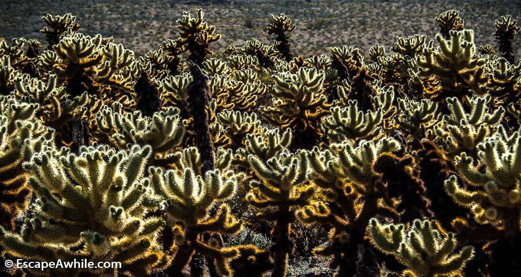 Cholla Cactus Garden.