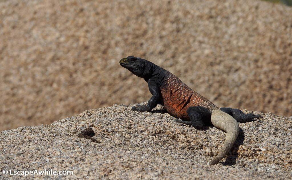Lizard, Joshua Tree national park.