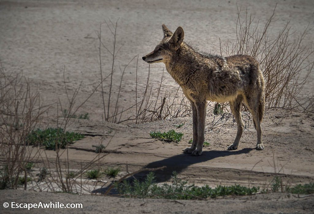 Road side coyote, a welcome comitee to the Death Valley NP.