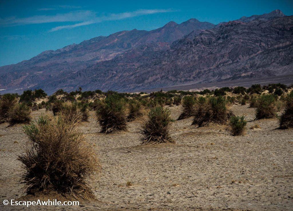 An abundant crop on Devil's Cornfield, Death Valley NP.