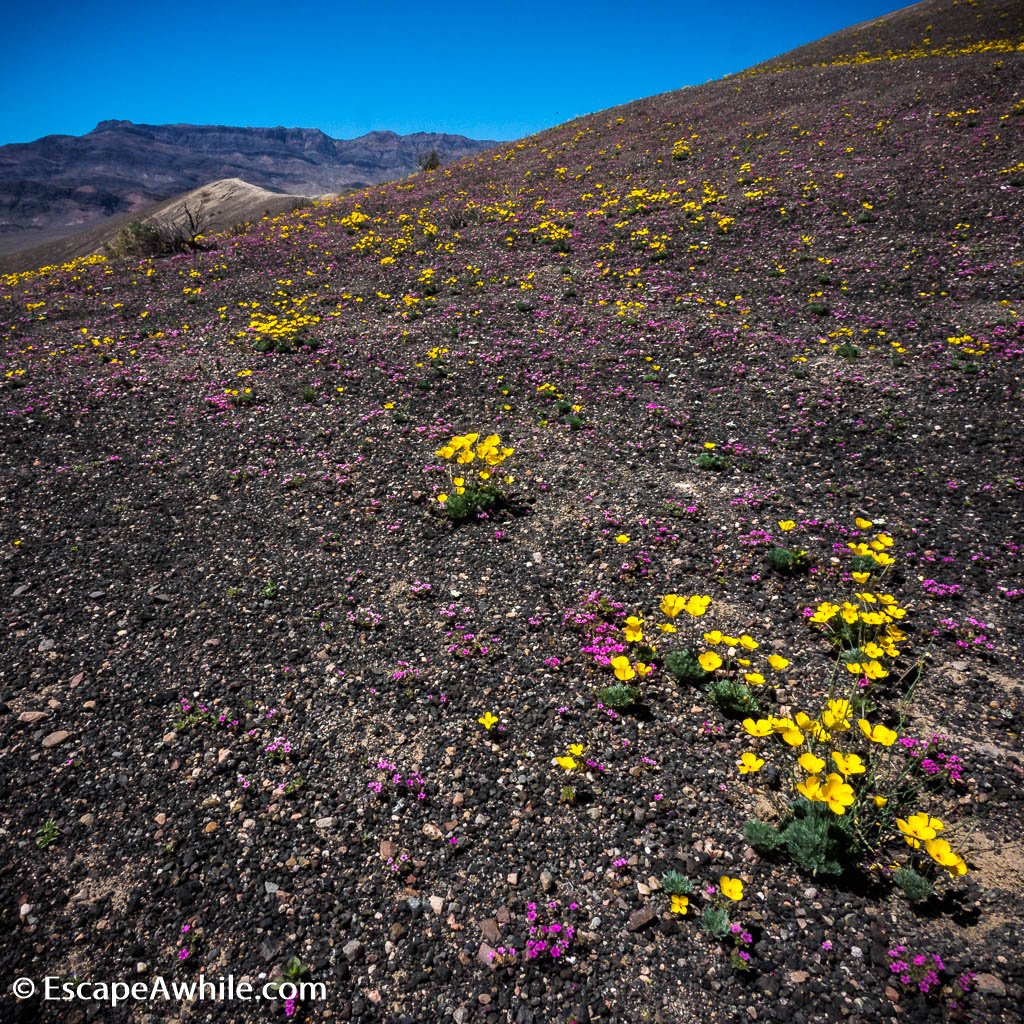 The stony desert in full spring bloom, Ubehebe Crater, Death Valley NP.