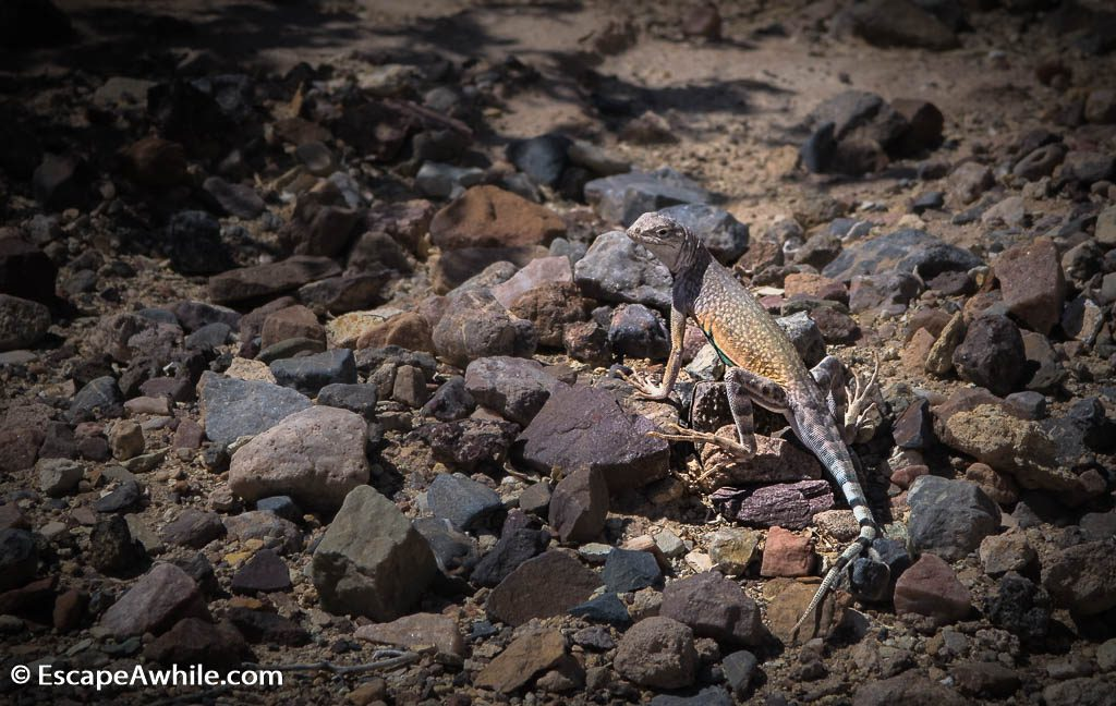 Resident lizard, Death Valley NP.
