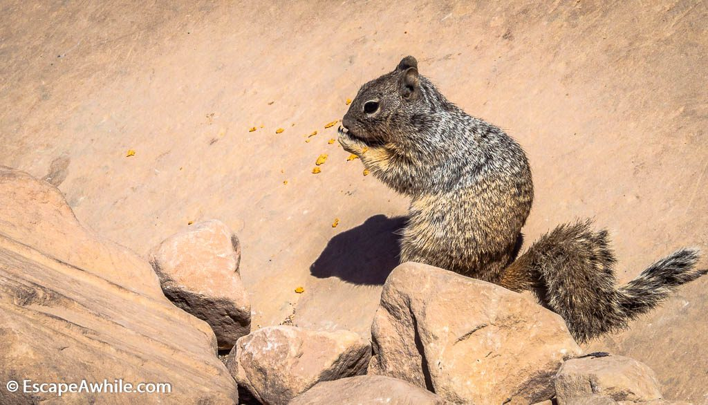 Squirel munching at crumbs, South Kaibab Trail, South Rim, Grand Canyon, Arizona, USA