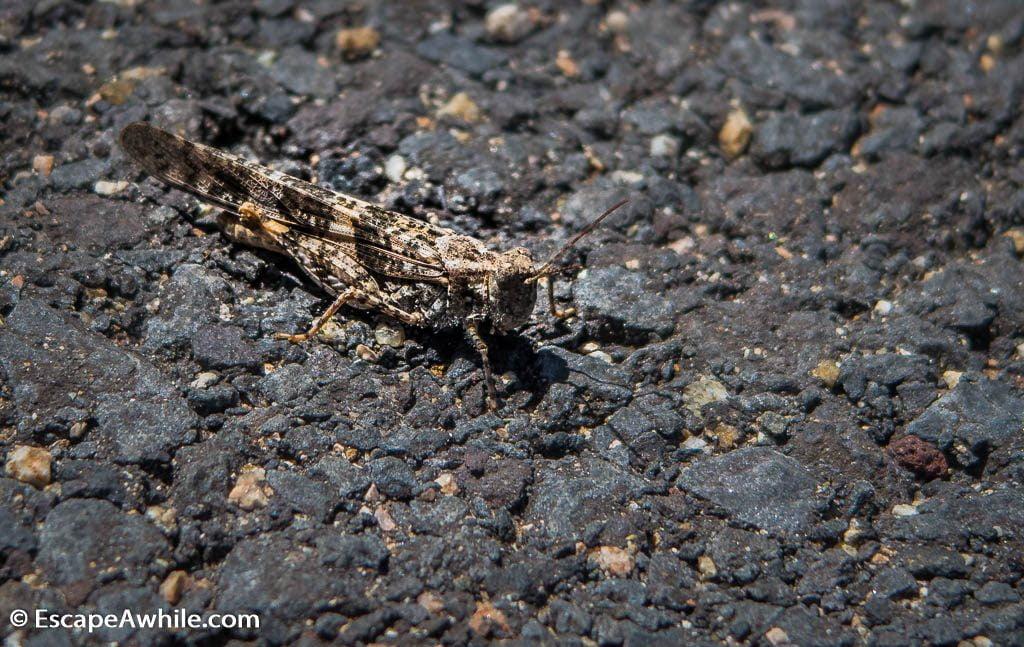 Grasshopper, Grand Canyon South Rim, Arizona, USA