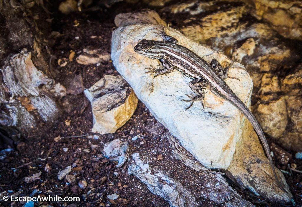 Plateau lizard, Grand Canyon South Rim, Arizona, USA