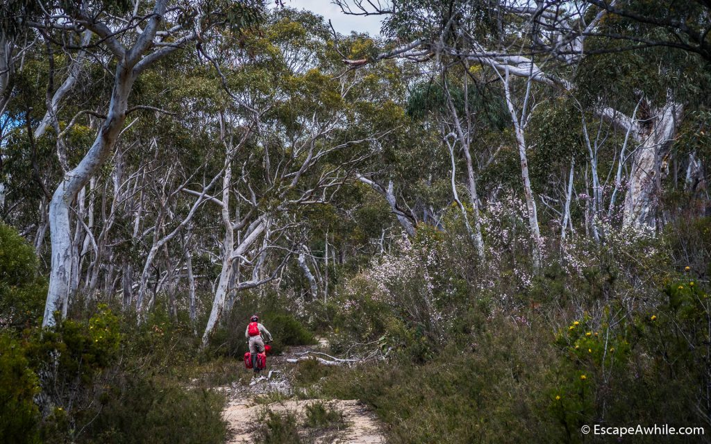 White gums and a bloming bushland.
